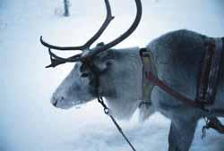 Un renne en Laponie (Finlande) - © Peter Glogg, Suisse - visipix.com